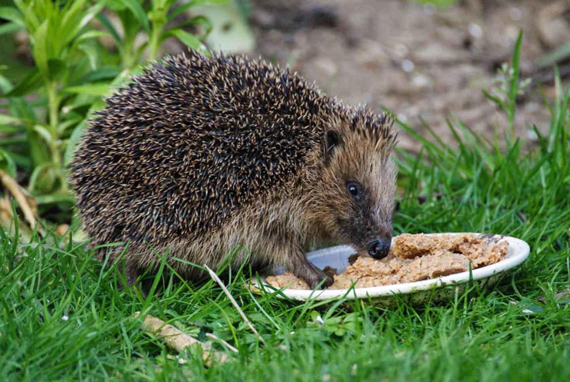 European Hedgehog Hibernation