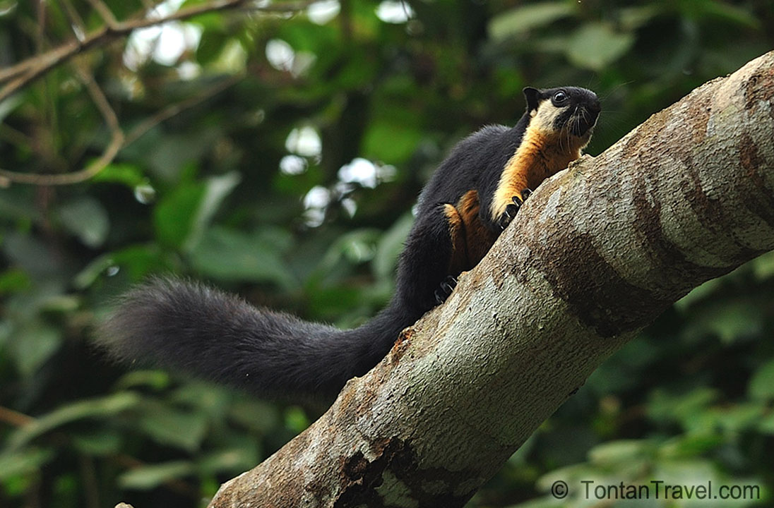 squirrel taxonomy wildlife online