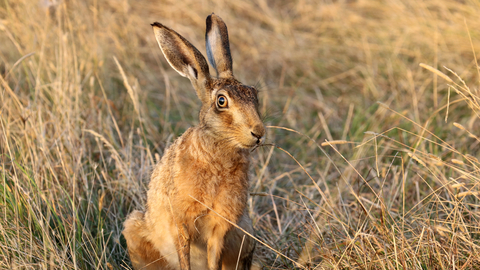 brown hare the wildlife