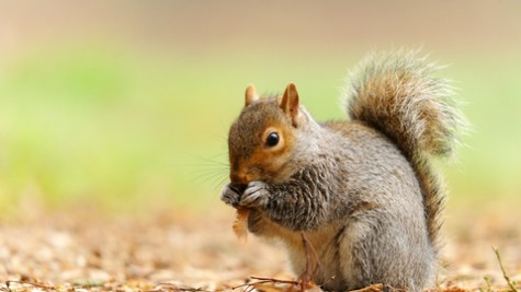 Grey squirrel | The Wildlife Trusts