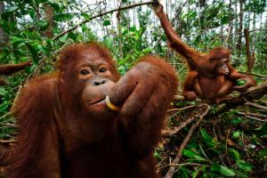 Orangutangs Sumo (foreground) and Cuhai in secondary peat swamp near BOS. Two orangutans spend time in the forest in Borneo, Indonesia. Photograph by Mattias Klum, National Geographic Creative