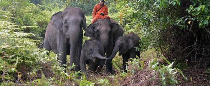 AN | Tesso Nilo's elephants show signs of stress due to forest fire