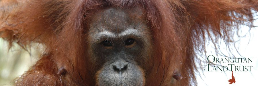 NS | Releasing rescued orangutans into the wild doesn't boost populations