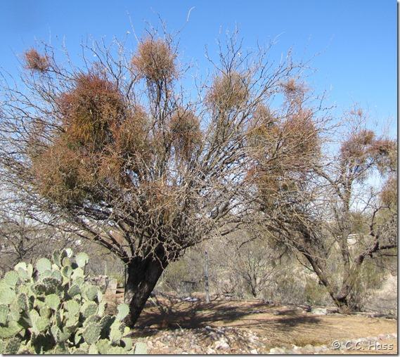 Mesquites with heavy mistletoe infestation