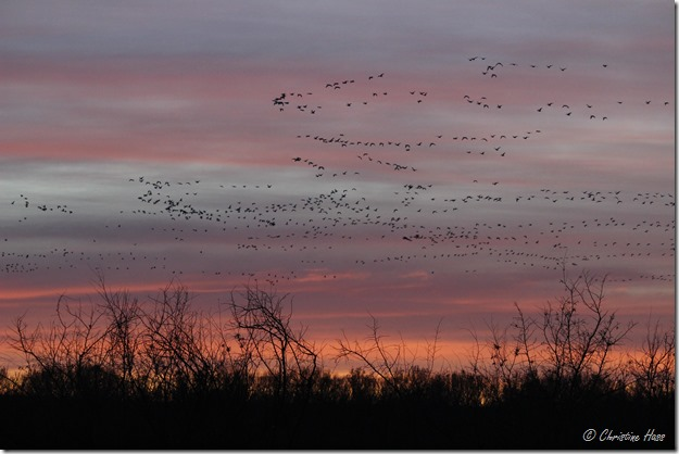 Snow geese in the dawn