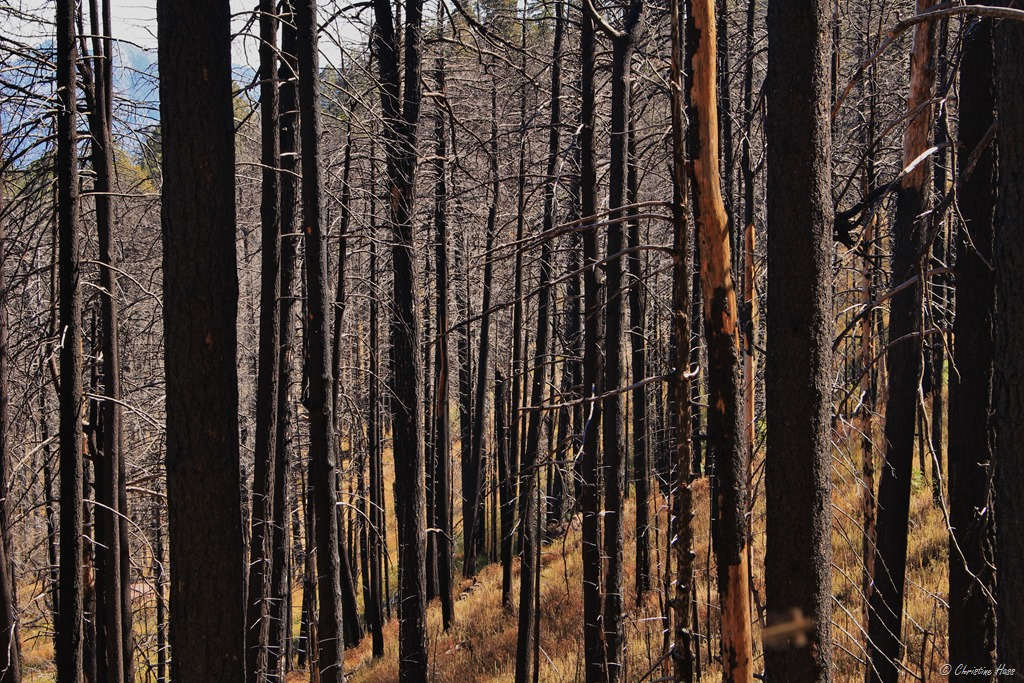 Burned forest in the Chiricahua Mtns.