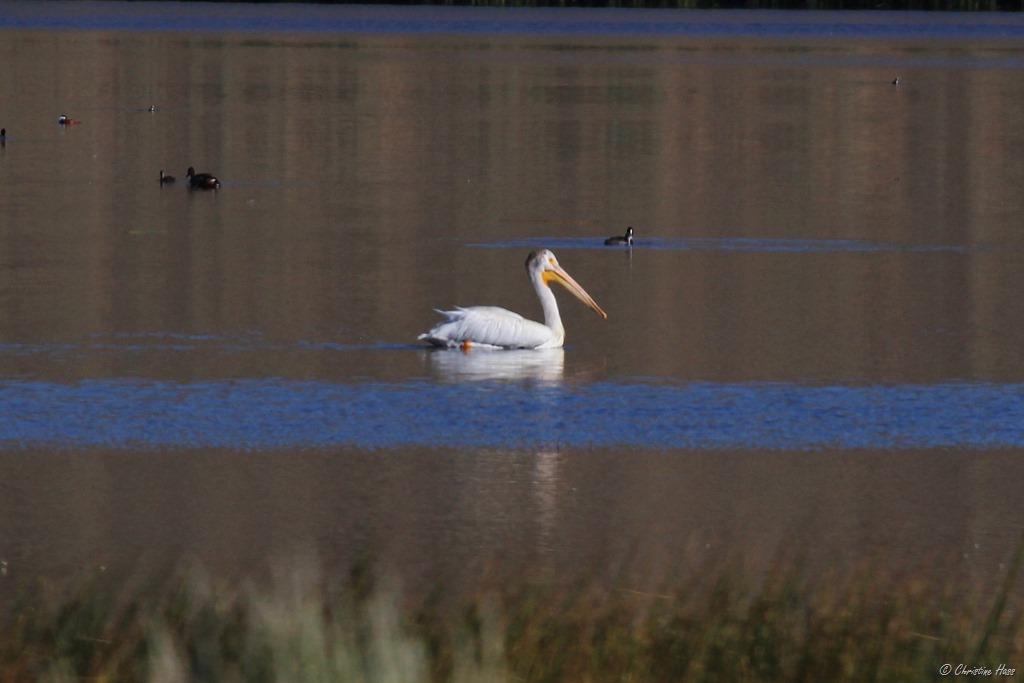 White pelican on Catnip Reservoir