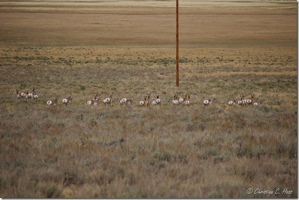A large group of pronghorn show what those white rump patches are for.