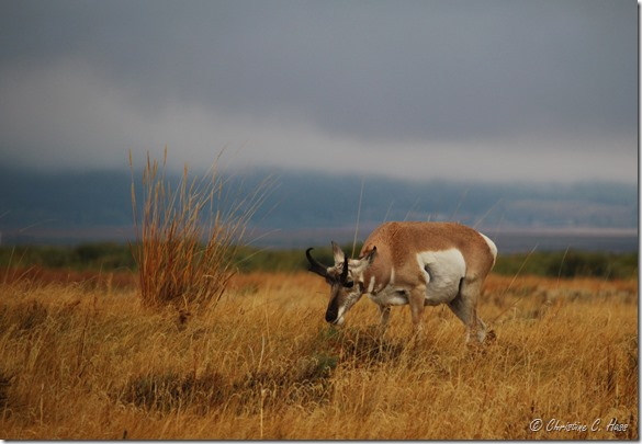 A pronghorn buck browsing on a wet morning.