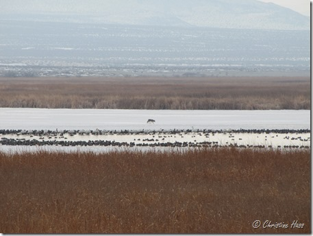 A coyote stalks the ice while swans, ducks, and geese stick to open water. Stillwater National Wildlife Refuge.