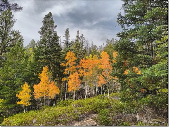Even the cloudy skies at Great Basin National Park could dim the brilliance of these aspens in fall color.