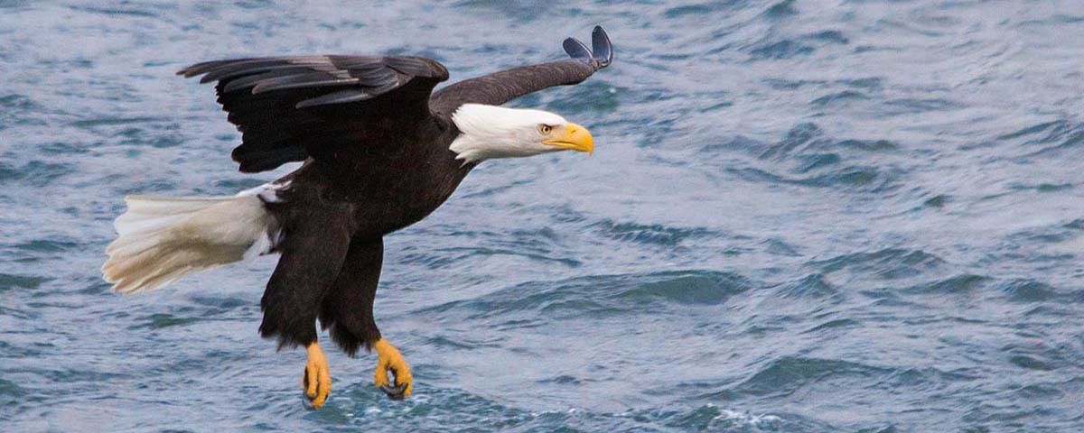 Nooksack River, Eagle, © Brett Baunton