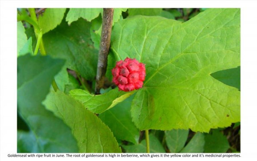 goldenseal with fruit