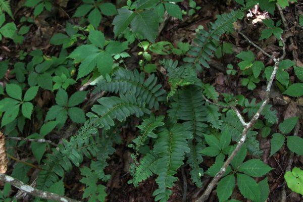 photo of ginseng companion plant christmas fern