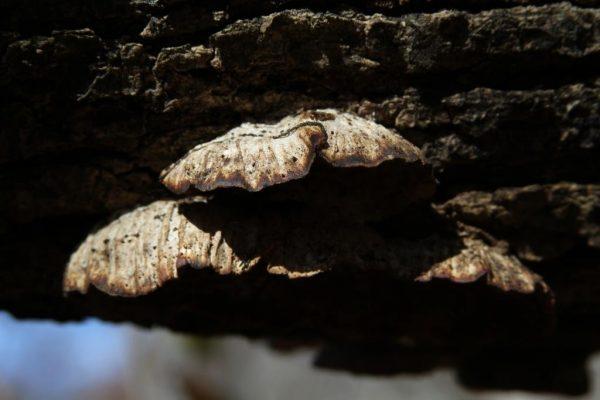 shelf fungi of some sort