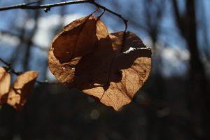 paper thin plum leaves