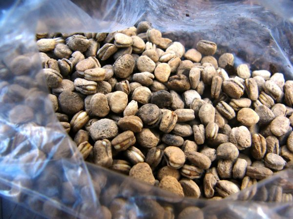 stratified ginseng seeds