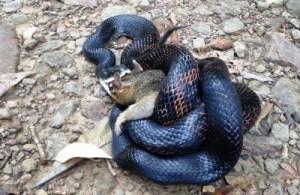snake eating squirrel