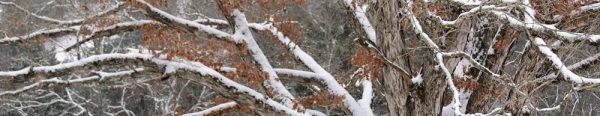 snow covered oak limbs