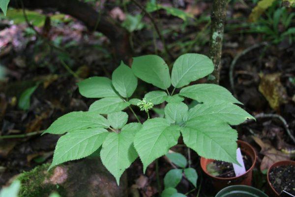 4-prong ginseng blooming