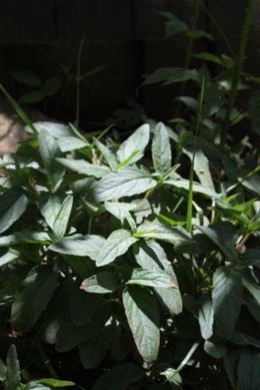 Prunella leaves