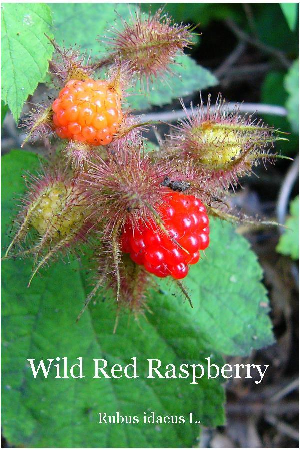 Wild Red Raspberry