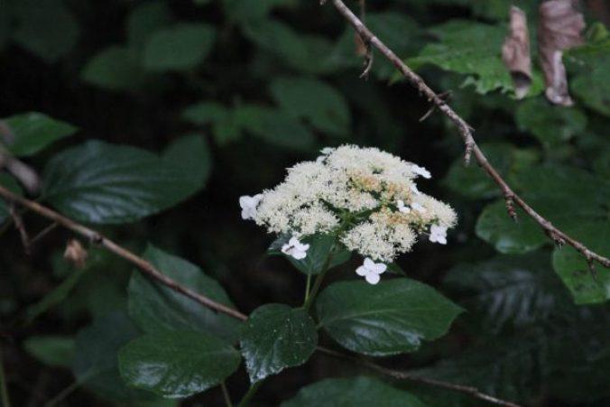 Wild Hydrangea (Hydrangea arborescens)