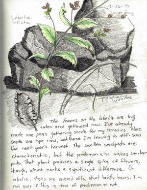 My nature sketching of Lobelia inflata.