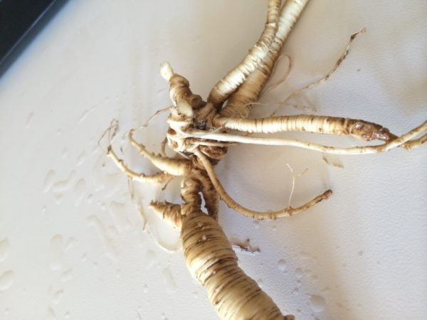 A very old American ginseng root from the Ozarks