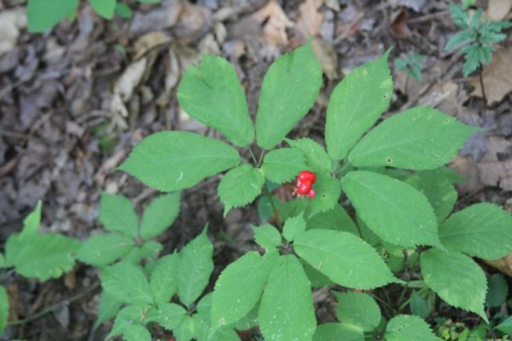 A three-prong ginseng with berries still, and lots of younger ones surrounding.