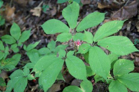 Ginseng in mid-September
