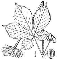 ginseng through the seasons line drawing