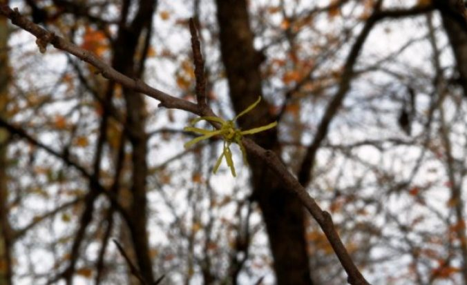 One of the bedraggled witch hazel blooms left.
