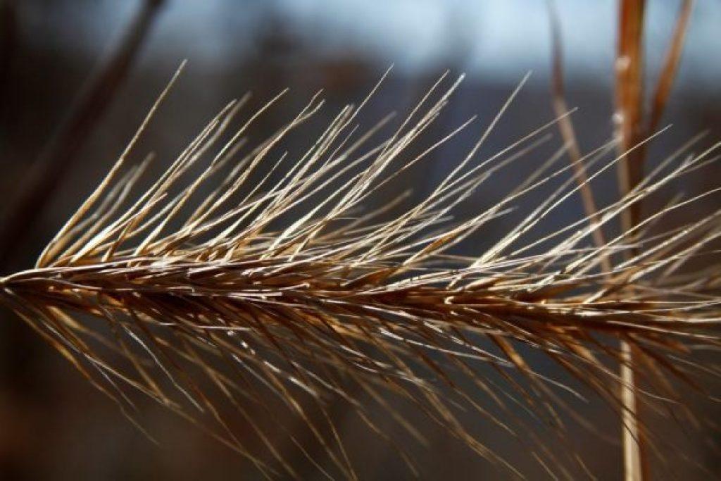 Pretty dried grass seed head at Wild Ozark