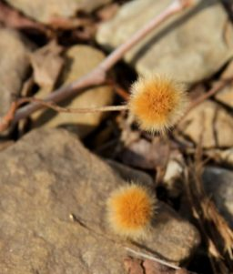 Maybe a sycamore seedball, not sure what it was, but I thought it would make a good picture.