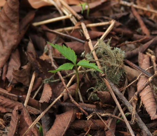 Ginseng seedling day 2