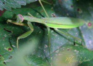 praying mantis on the Ozark backroad trip