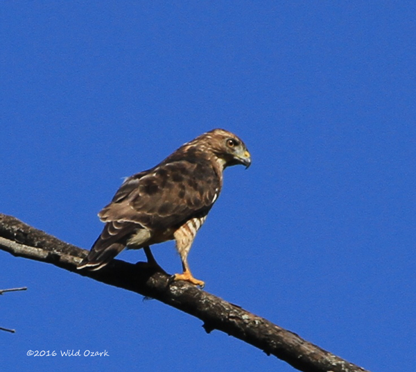 First sight on the Ozark Backroad Photographic Journey was a broadwing hawk.