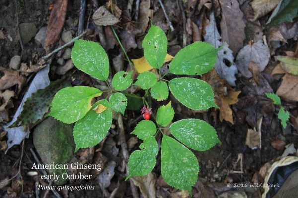 This is how ginseng looks in fall: A bug-eaten and yellowing 3-prong with one berry still clinging.