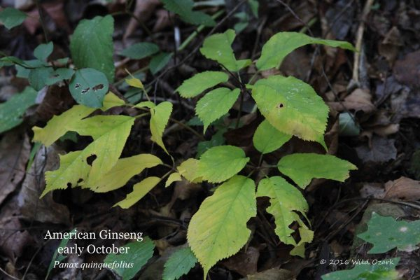 how to grow american ginseng
