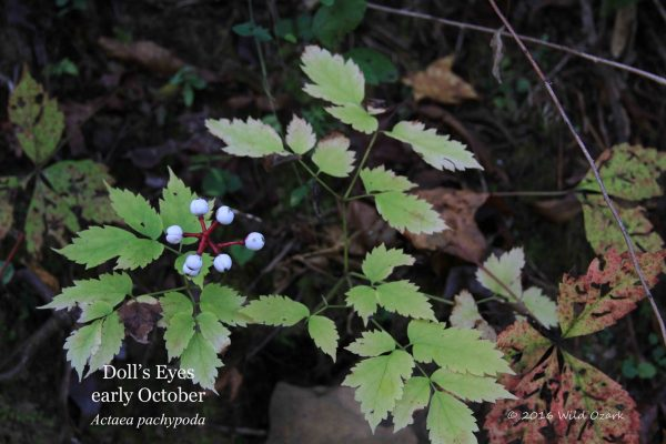 Doll's Eyes (Actaea pachypoda) with ripe berries in October.