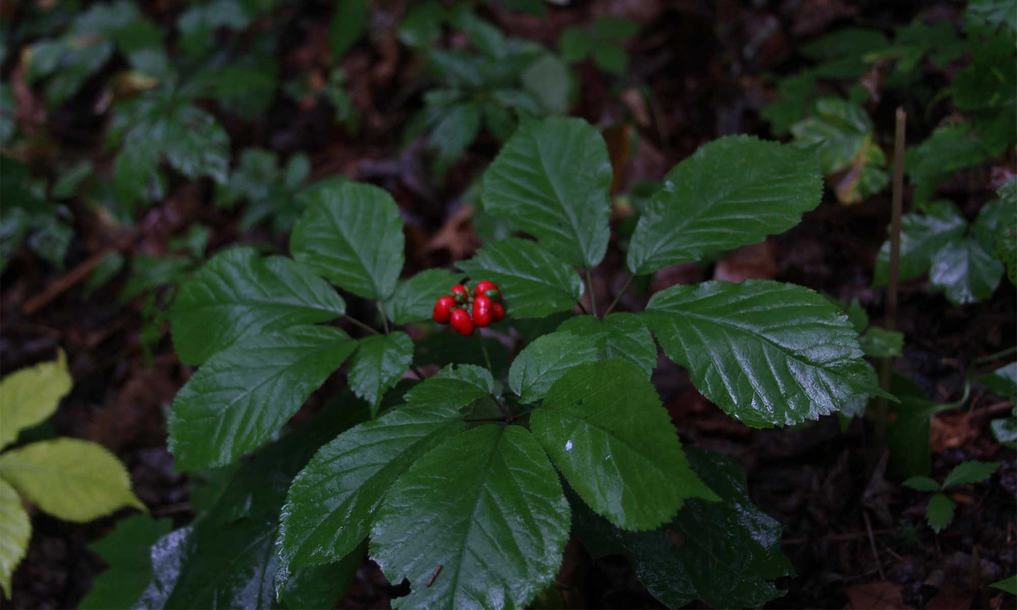 Ginseng Sustainability The Question Of Conservation Vs