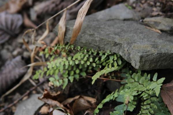 I find these ferns often in the Ozark bluffs. Adiantum capillaris-veneris L., Southern maidenhair fern. Trying to poke itself out into the light from underneath some rock layers.