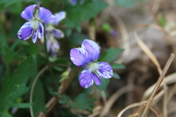 Unidentified violet.