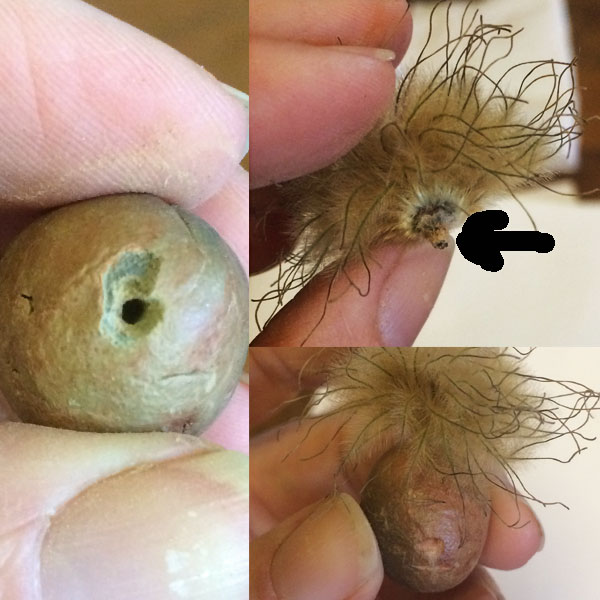 """After the test-firing, I wanted to put a hole in the top of this so I could insert the stem and glue it. Now, this little """"Folk"""" will have an interesting hair piece made from the clematis seedpod."""