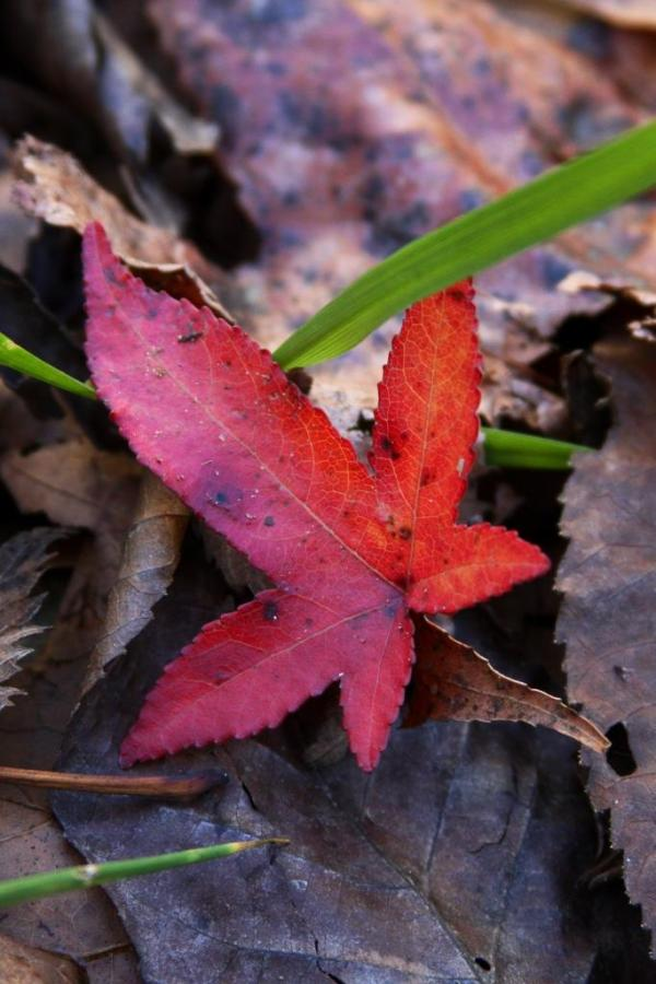 A red sweet gum leaf by the gate.