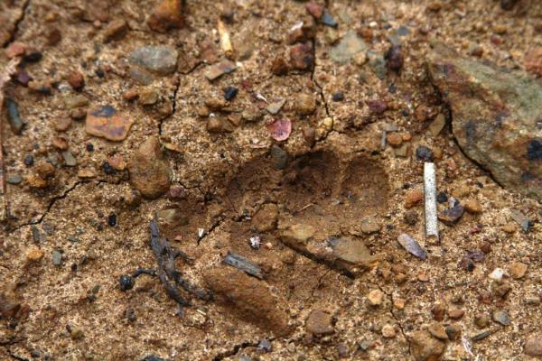 Baby bear track or a little bigfoot.