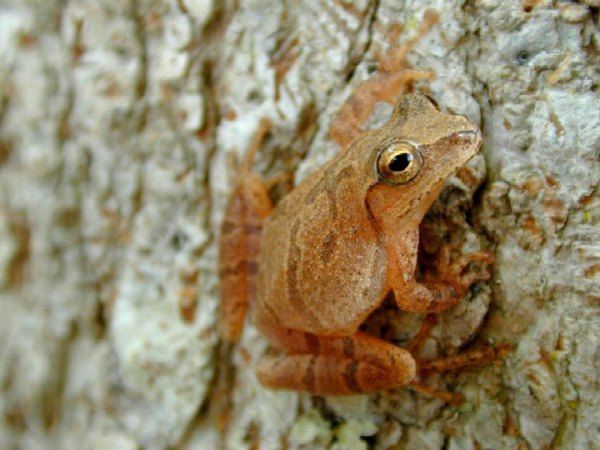 A spring peeper. Something I've often heard but never seen.
