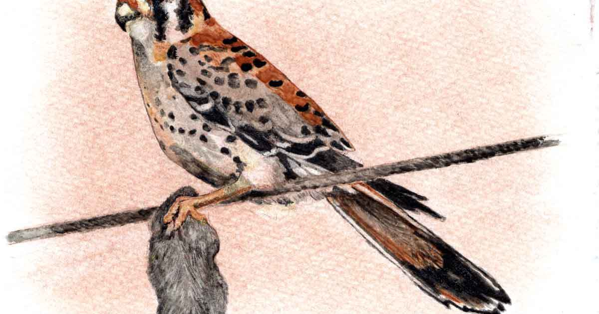My second attempt at a kestrel, and the third attempt at making a watercolor painting using paints made from my hand-milled pigments.