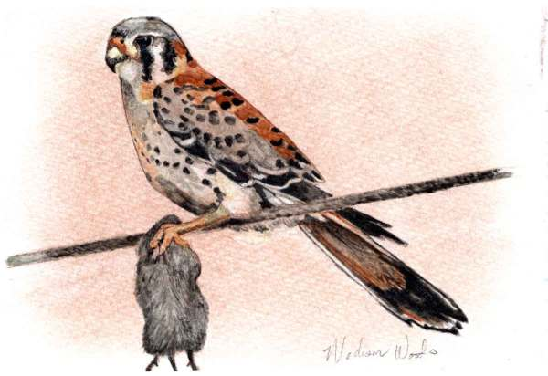 My second attempt at a kestrel, and the third attempt at making a watercolor painting.